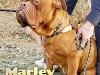 Marley is a 2-3 year old female DDB.  Shes a petite