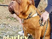 Marley's story Marley is a 2-3 year old, female, Dogue