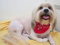 Marley's story Marley appears to be a purebred Lhasa