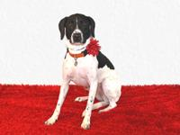 Marley is a Pointer mix who came to us when her family