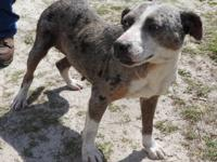 Marmie is a large female Catahoula mix, blue merle in