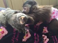 Hello there,we do have bottle babies marmoset and