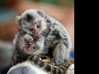 Cute and well trained baby Marmoset Monkeys for sale.