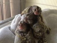 Marmoset monkey bottle babies available. Marmosets are