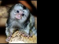 Marmoset monkeys ready for new loving homes. All