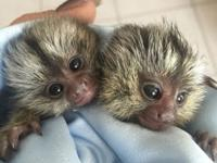 If you are looking for a baby marmoset monkey for sale,