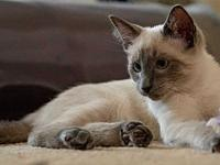 Mars's story Mars is a blue-point Siamese that is