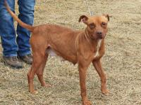 #335595 Marsha is a beautiful, petite, 4 year old Pit