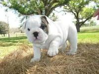 Animal Type: Dogs Breed: Bulldog Beautiful male/female