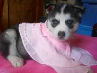 REDUCED!! Sophia is a CKC Black and White Husky w/ blue
