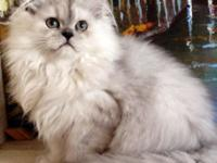 CHARISMATIC Persian Male Kitten - lively & & caring -