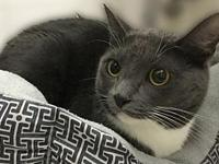 Marvelous Mao: Russian Blue Mix Tuxedo's story Mao was