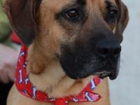 Marvin is an 85 pound, 2 year old Dane/Mastiff mix. As