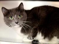 Mary's story 3 years old Domestic Medium Hair- Grey and