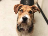 Mason is a 4 year old 47 lb. male Airdale Terrier mix.