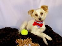 Breed: Chihuahua/Pom Mix Sex: Male Weight: 12lbs Size: