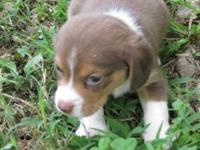 Massey is a beautiful rare chocolate color small beagle