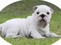 Animal Type: Dogs Breed: Bulldog Three Massive Short