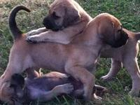 We have 7 Mastador female puppies for sale. They are a