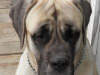 9 huge stunning Mastiff/Great Dane pups offered. Dam is