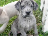 9 big lovely Mastiff/Great Dane pups offered. Dam is