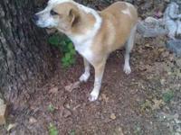 Mastiff - Ace - Medium - Adult - Male - Dog Aceis a