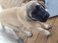 Fawn mastiff male. 3 months old. Really Nice puppy.