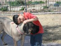 Mastiff - Annabelle - Extra Large - Young - Female -