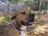 Mastiff - Bruno - Extra Large - Adult - Male - Dog