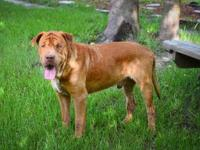 Mastiff - Denny 11854 - Large - Adult - Male - Dog