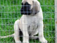 AKC English Mastiff fawn male puppy. 11wks old. Vet
