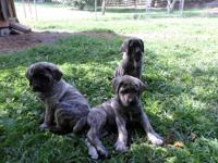 Born 4-7-12, I have 1 brindle male,1 brindle female.