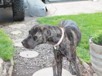 I have an unaltered female, Half Mastiff/Great Dane.