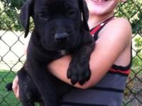 MASTIFF HYBRID young puppy. MALE. Black Brindle. 50 %