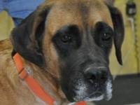Mastiff - Lucy - Extra Large - Young - Female - Dog