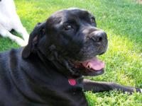 Mastiff - Maggie Mae - Large - Adult - Female - Dog