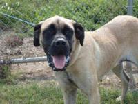 Mastiff - Minnie - Extra Large - Young - Female - Dog
