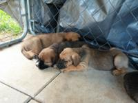 These puppies are likely to become large dogs, easily