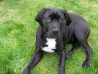 I am a 4 month old, female Mastiff-Mix puppy, and I
