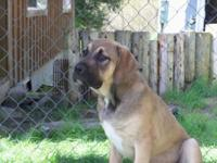 I have 2 male 1 female Mastiff mixes that need homes