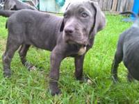 Mastiff Neopolitan pup for sale I have both a male and