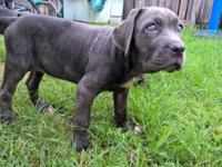 Mastiff Neopolitan pup for sale $500 2 months old Has