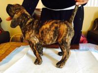 Pure Breed Presa Canario, puppies 6 females and 2 male