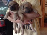 I have five beautiful male mastiff puppies still