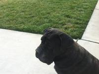 We have 7 Mastiff puppies available for adoption March