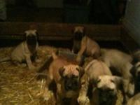 9 week old English Mastiff puppies for rehoming fee.