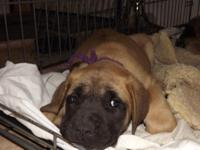 English mastiff young puppies for sale-- I have 2 males