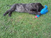 PURE-Bred Old English Mastiff Puppies for sale. 6