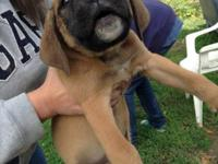English mastiff/Carne Corso young puppies. Definitely