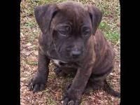 Call/text me @ (. I have registered American Bandogge
